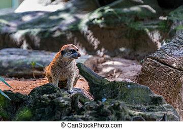 erdmännchen - wildtier