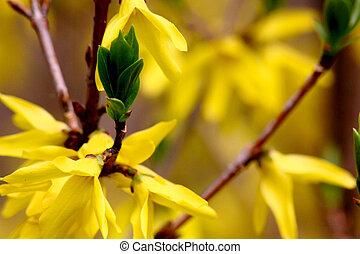 eredet, flowers., sárga, forsythia.