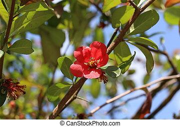 eredet, kert, virágzó