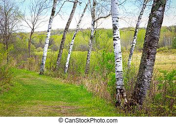 eredet, nyárfa, erdő