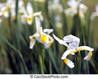 eredet, pázsit, nárciszok, virág