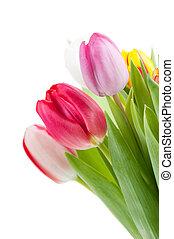 eredet, színes, tulipánok