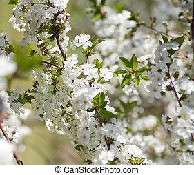 eredet, virágzás, kert