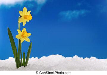 eredet, winter:, nárciszok, alatt, hó