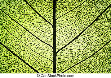 erezet, bakhátak, levél növényen