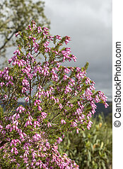 Erica australis in Ria Formosa natural park Algarve.