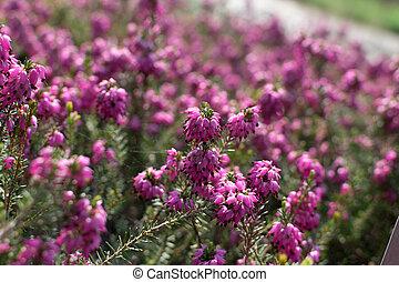 Erica Carnea or Myretoun Ruby pink flowers in spring garden