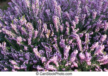 Erica Carnea or Myretoun Ruby Violet flowers in spring garden
