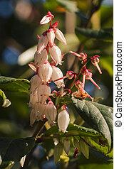 ericaceae, hat, flowers., viele, weißes
