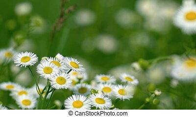 Erigeron annuus (fleabane, daisy fleabane, or eastern daisy...