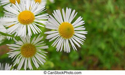 erigeron, annuus, similar, margaritas, pers., blanco, l., flores, wildflowers