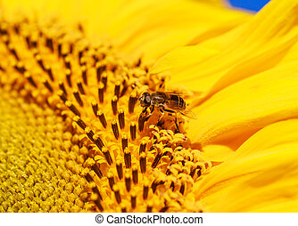 Eristalis and sunflower on a field. Shallow depth of field