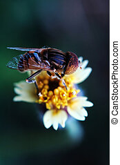 Eristalis tenax on tridax procumbens flower