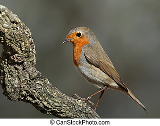 Erithacus rubecula robin perched on a branch side face with...