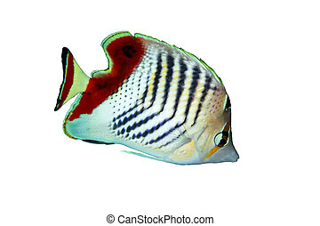 Eritrean butterflyfish (Chaetodon paucifasciatus) isolated on white background.
