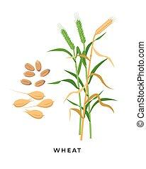 ernte, körner, -, vektor, hintergrund., getreide, design, weizen, freigestellt, botanik, weißes, pflanze, gras, wohnung, reif, abbildung, grün