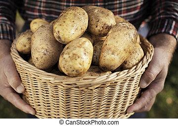ernte, kartoffel
