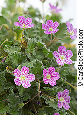 Erodium flower closeup