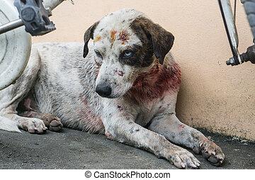 errant, bite., après, chien, attaque, blanc, blessure