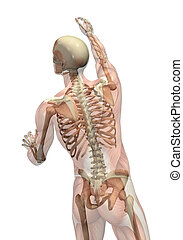 erreichen, drehung, halbdurchsichtig, skelett, -, muskeln