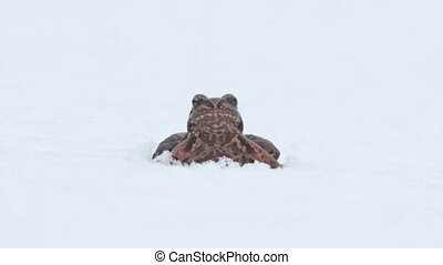 Erroneous premature awakening 1. Frog woke up in early spring, however, snow fell