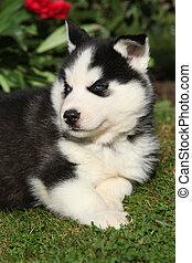 erstaunlich, sibirischer schlittenhund, liegen, vor, rote blumen