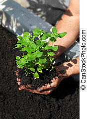 erva-cidreira, plantar