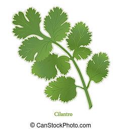 erva, cilantro