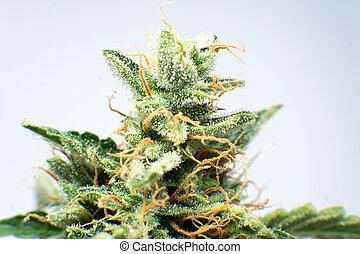 erva daninha, thc, indica, broto, macro, cannabis., cima., fresco, flower., cbd, details., trichomes, verde, pot., fim, marijuana