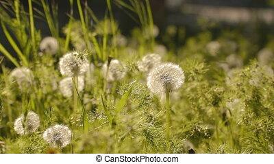 ervas daninhas, ver, verde, dandelions