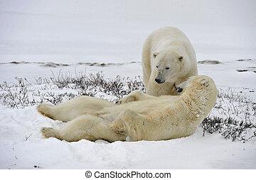 erwachsener, polar, maritimus), bär, mann, (ursus