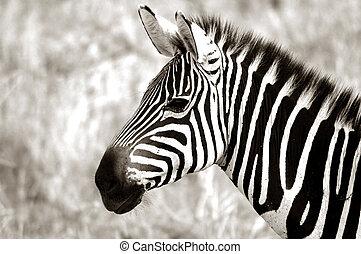 erwachsener, zebra
