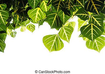 Erythrina leaf isolate on white background