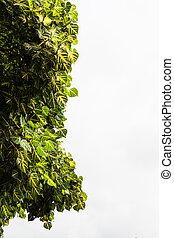 erythrina, variegata
