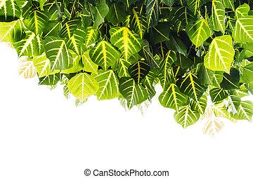 erythrina, variegata, lassen