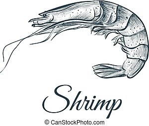 esboço, drawing., ilustração, camarão, vetorial, mão