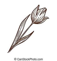 esboço, flor, folha, esboço, ilustração, tulipa, vetorial, monocromático