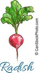 esboço, rabanete, isolado, vetorial, vegetal, ícone