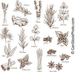 esboço, temperos, e, ervas, vetorial, flavorings