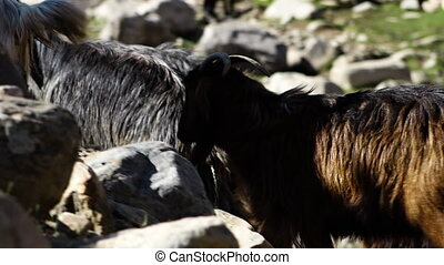 escalade, chèvres, grand, rochers