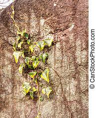 escalador, planta, ligado, a, parede pedra