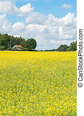 escandinavo, verano, paisaje, con, amarillo, pradera
