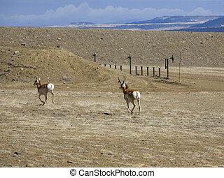 Escaping antelope
