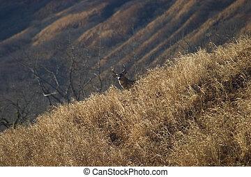 Escaping blacktail deer - Blacktail deer on Kodiak Island ...