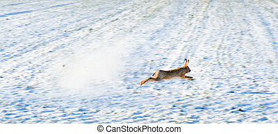 Hare escaping a hunter's shot on a snowy field