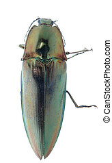 escarabajo de tecleo