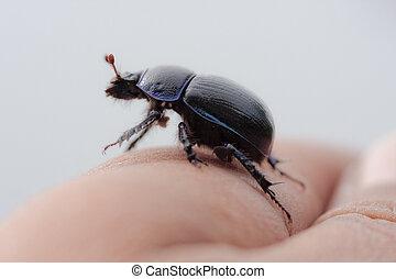 escarabajo, en, un, dedo