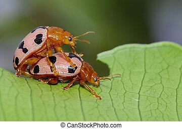 escarabajos, Mariquita, imagen, hojas, insecto, verde,...