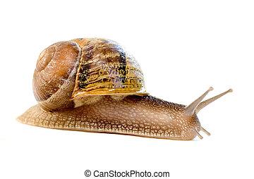 escargot, commun, (helix, aspersa), européen