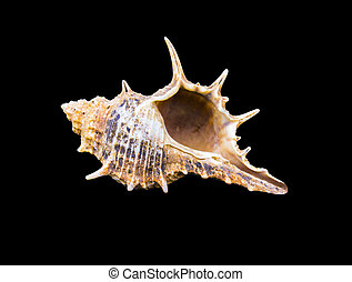 escargot, coquilles, seashell, isolé, arrière-plan., mer noire, marin